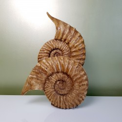 Moulage d'ammonites en platre vernis